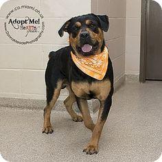 7 27 16 Rottweiler Mix Dog For Adoption In Troy Ohio Beau