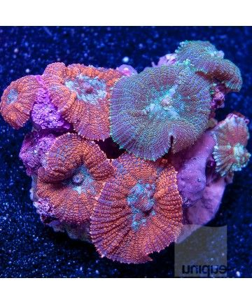 Rhodactis Sp Red And Green Rhodactis Mushroom Colony 4 Wysiwyg Colony Coral Tropical Freshwater Fish Sea Aquarium Soft Corals