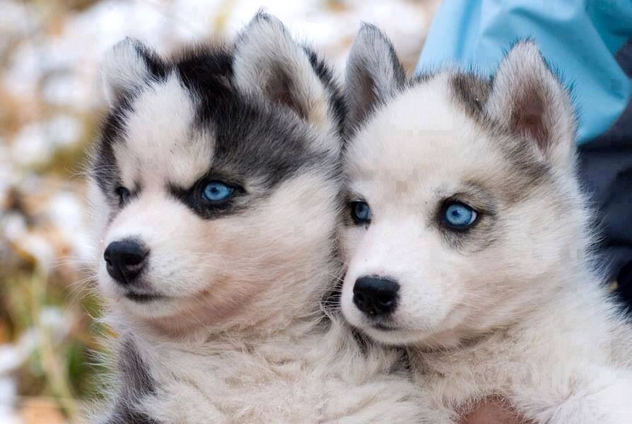 Huskie pups. i would so love to have a husky puppy.