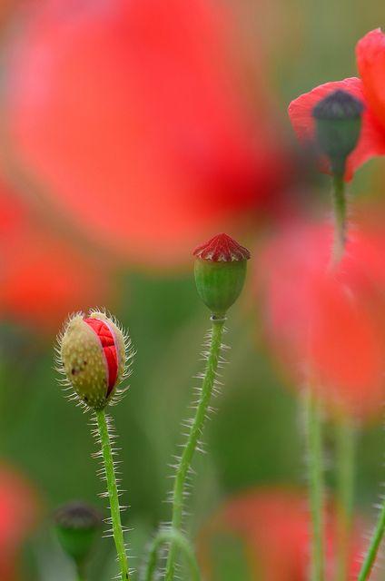 Image result for poppy bud Pinterest