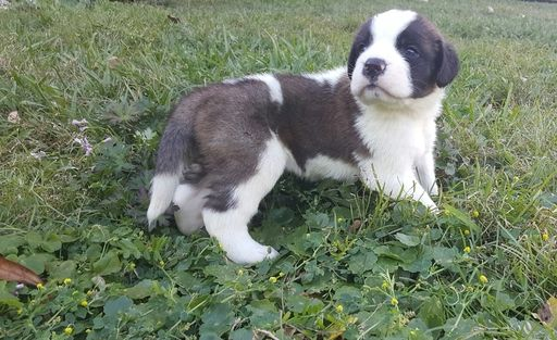 Saint Bernard Puppy For Sale In Jacksonville Fl Adn 23999 On Puppyfinder Com Gender Male Age 4 Weeks Old St Bernard Puppy Puppies For Sale Saint Bernard