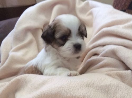 Best Picture Ideas About Shih Tzu Puppies Oldest Dog Breeds
