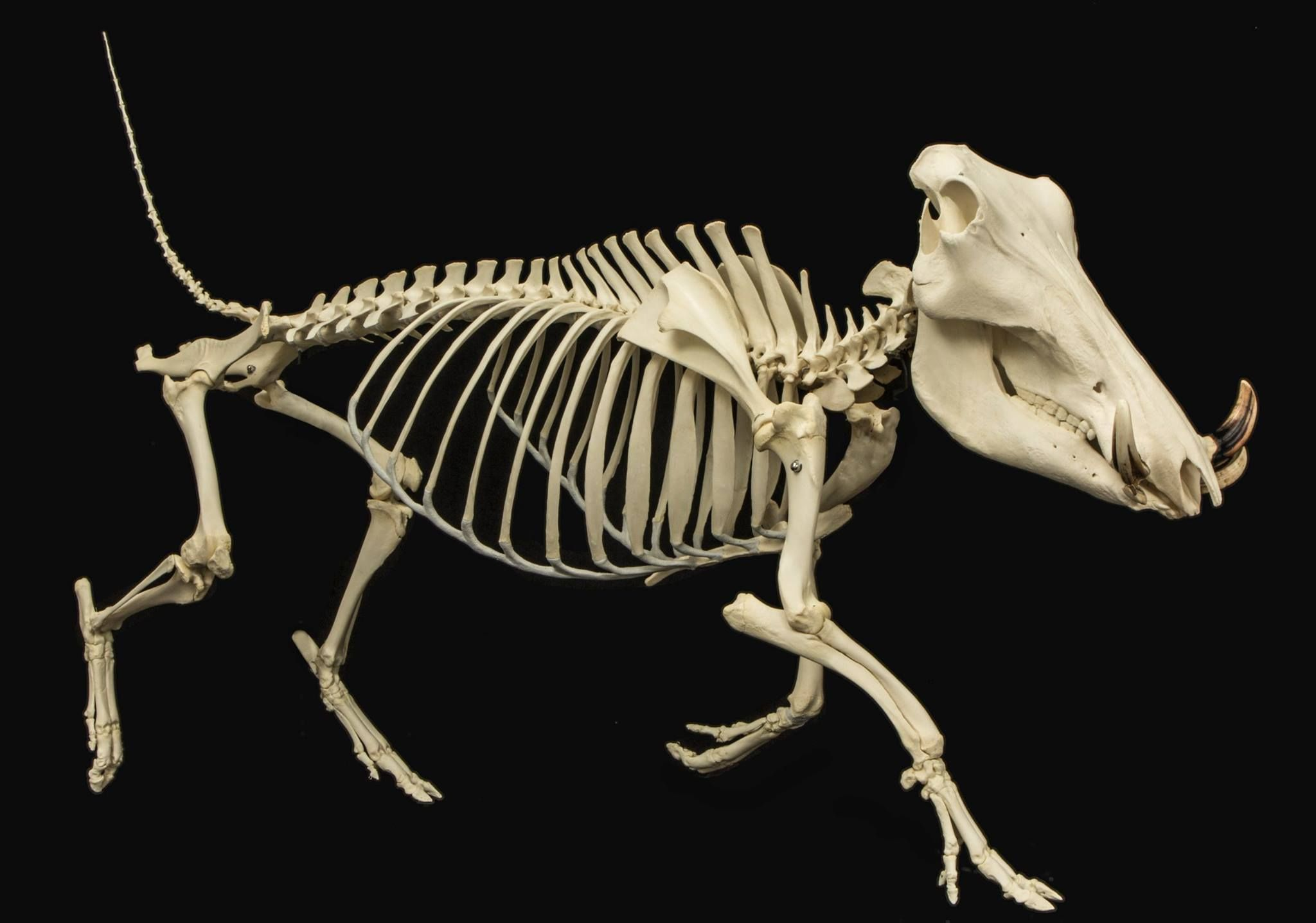 Warthog skeleton! Warthogs are members of the family that ...