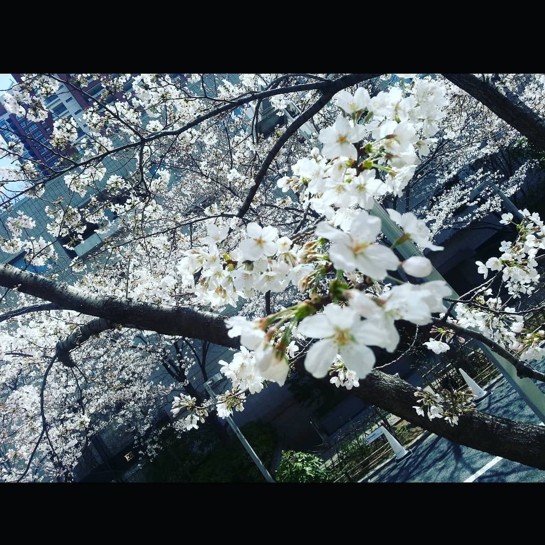 Pure and perfect #like #blossom #beauty #handmade #sakura #bloom #picoftheday #floweroftheday #bhfyp #flora #photographer #flowermagic #instaflower #flowerslovers #naturelover #happy #design #travel #artist