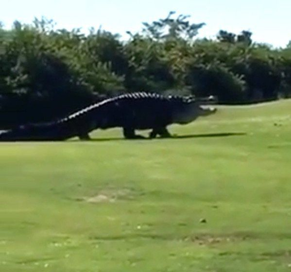 Monster Alligator Stomps Through Florida Golf Course ...