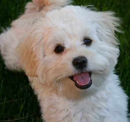 Shih Tzu Mix Puppies Looks Just Like Sheldon M Daughter S Dog Ramona Christy Poodle Mix Dogs Shih Tzu Poodle Mix Shih Tzu