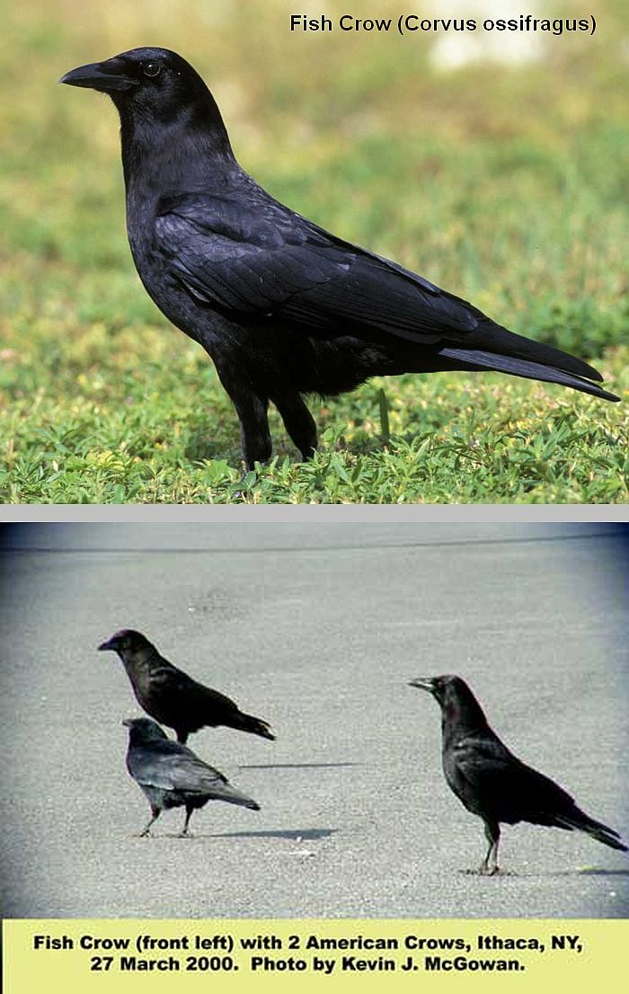 The fish crow corvus ossifragus is smaller 14 17 for Fish crow call