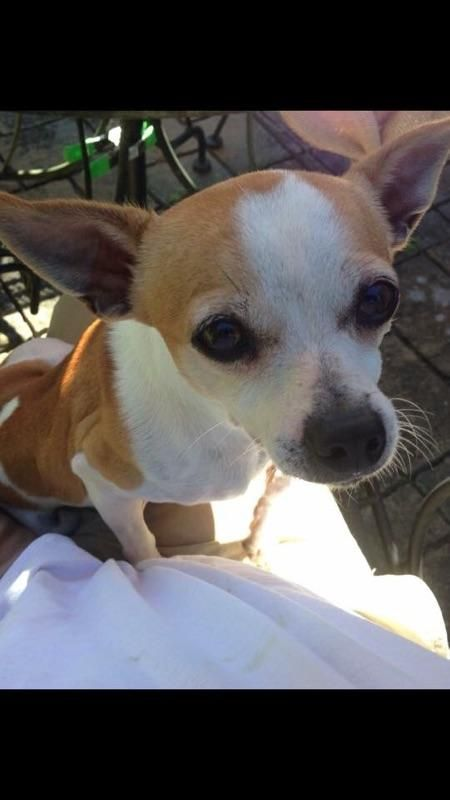 Adopt Cooper On Chihuahuas For Adoption Chihuahuas For