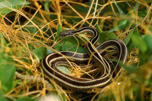 Ribbon And Garter Snakes Garter Snake Snake Snake Free