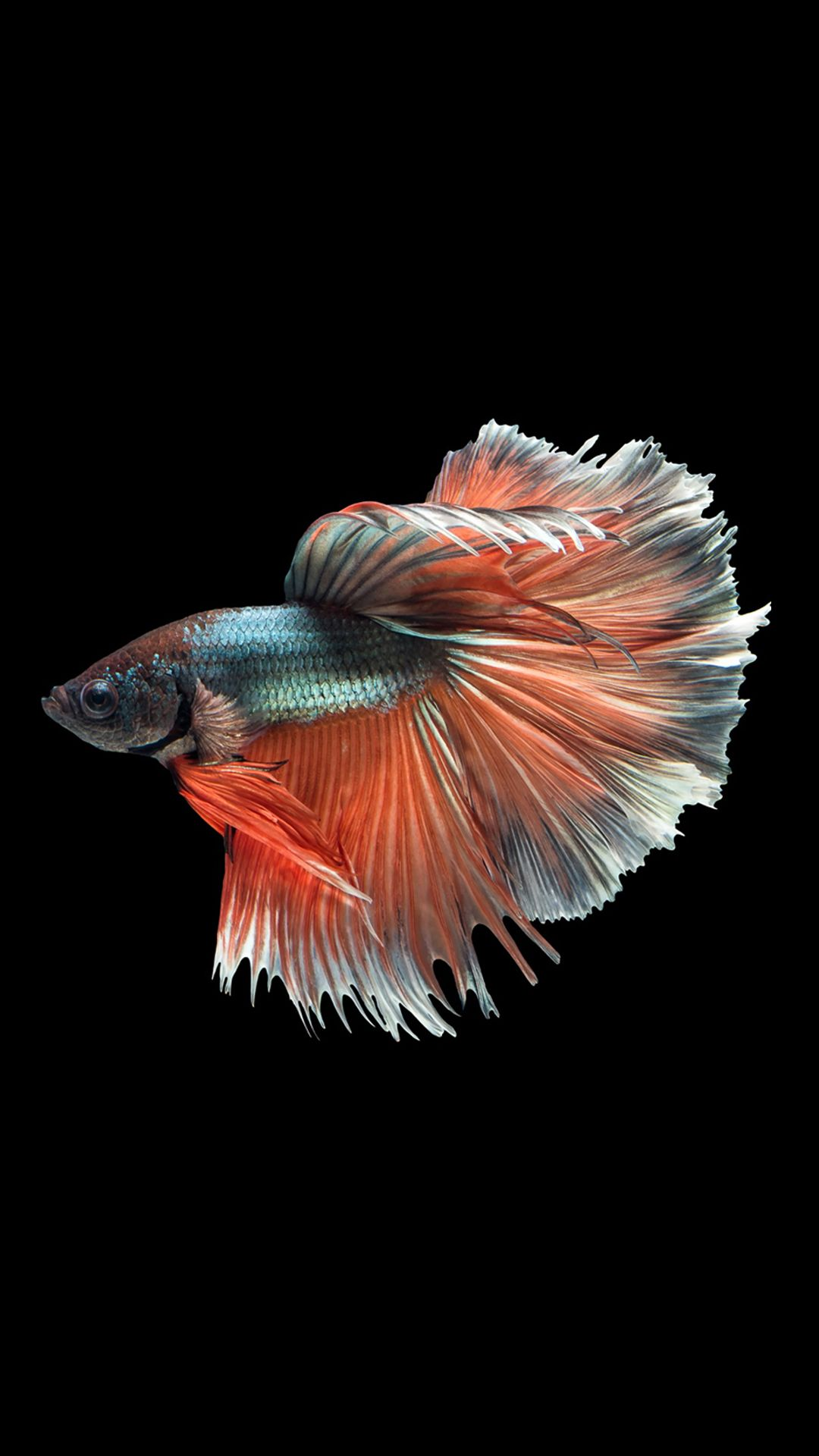 betta fish 14 betta fish betta fish fish siamese fighting fish
