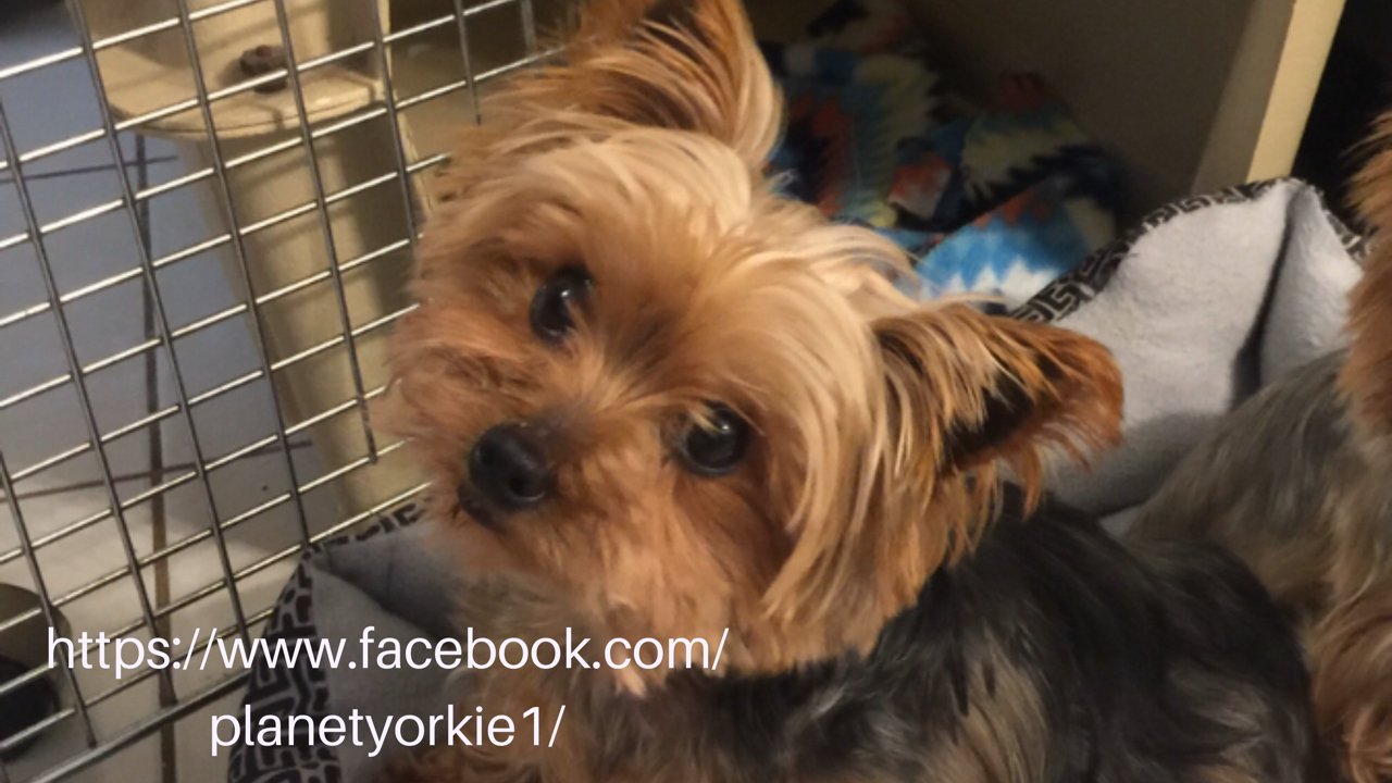Yorkie Yorkie Poo Puppies Fun Videos And Pics Memes Of Our