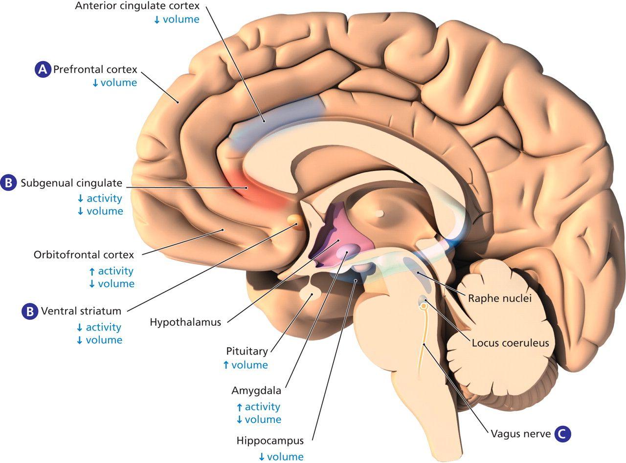 anterior cingulate cortex - Google\'da Ara | Brain Anatomy | Pinterest