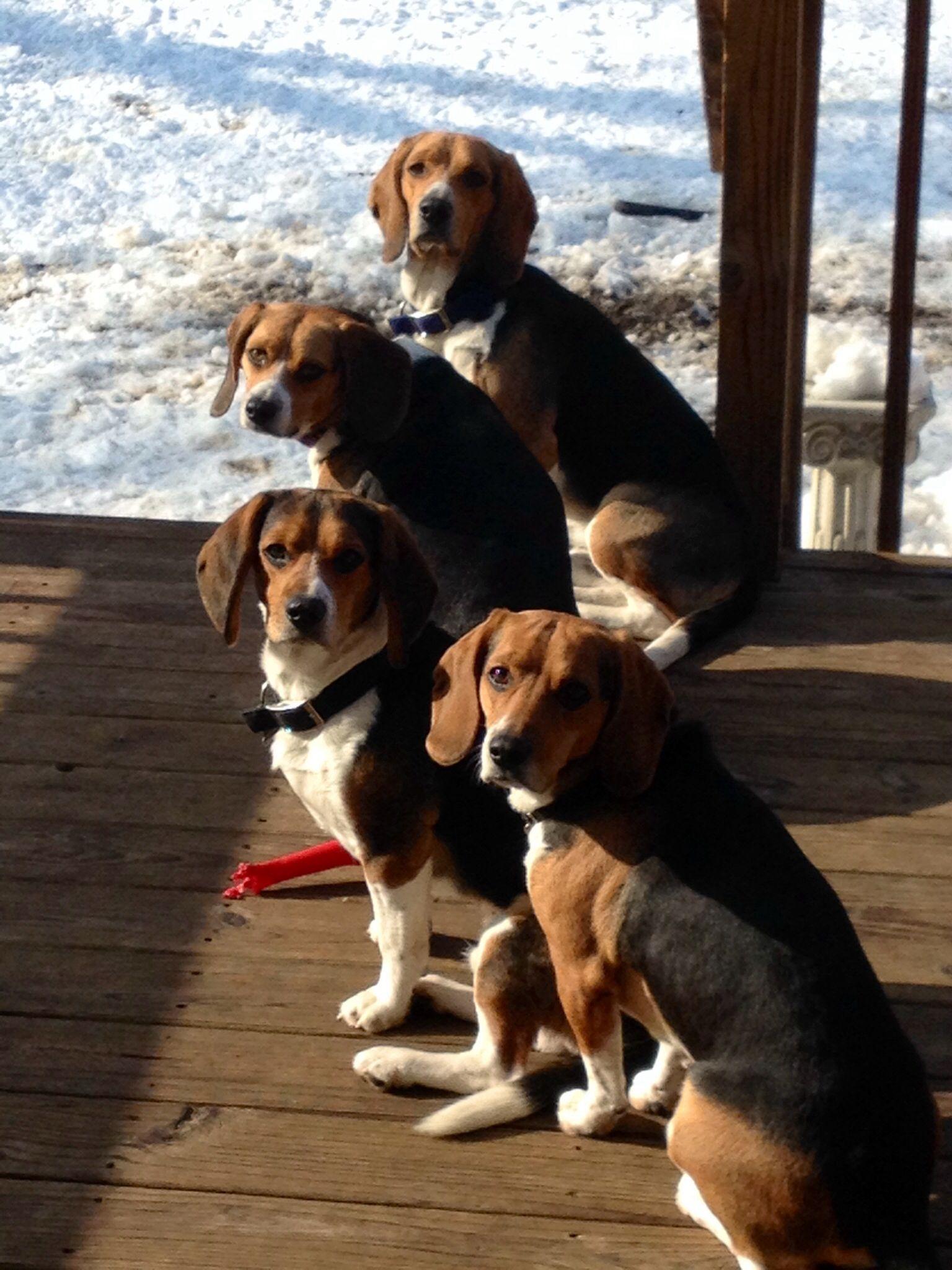 Beagle family enjoying a winter day beagle breeds