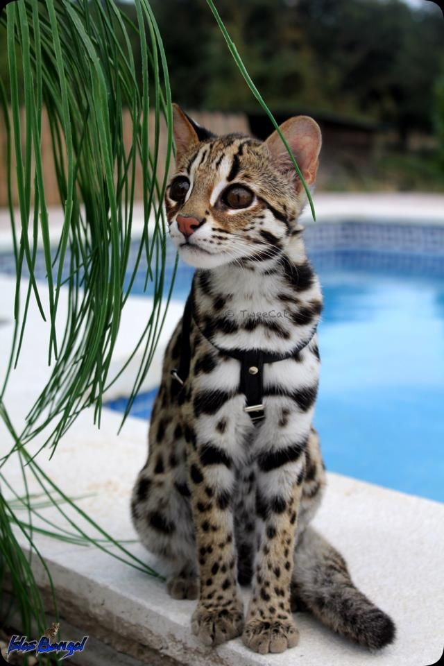Bengal Cat Cute Cats And Dogs Cute Animals