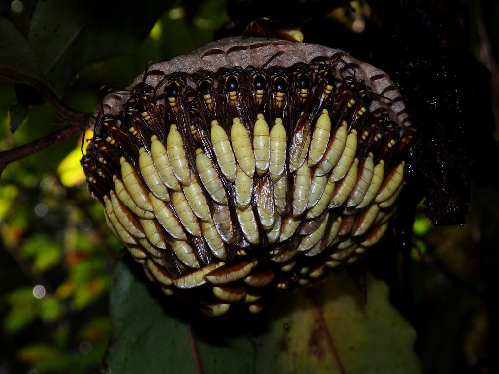 The Bizarre Nest of the Central American Paper Wasp The