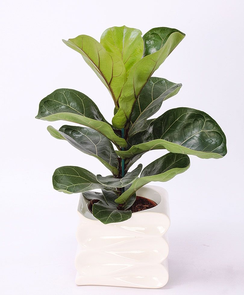 fiddle leaf fig ficus lyrata u0027bambino u0027 ficus in al hun