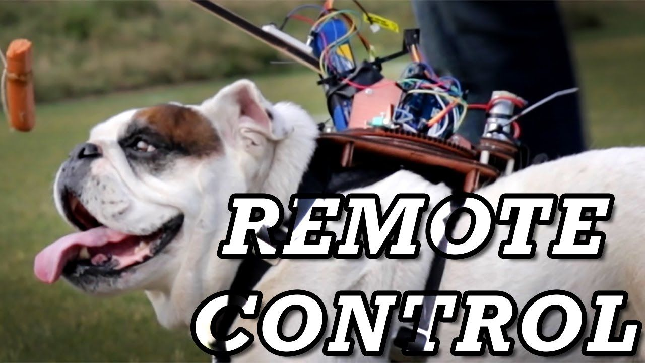 A Funny Bulldog Refuses to Cooperate With His Human's Dangling Reward-Based Backpack Robot #funnybulldog