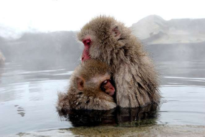Macaques monkeys. Japan. Passionate embrace - Koichi Kamoshida/ Getty Images