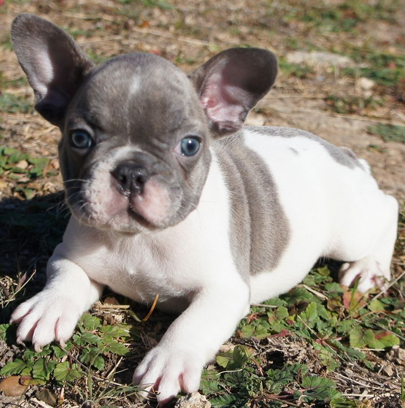 Blue Pearl French Bulldogs We Have One Of Their Pups Named Stella