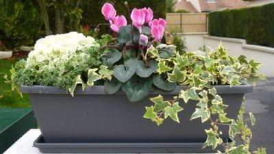 Jardini re d 39 automne hiver cyclamen lierre choux myrthe for Jardiniere hiver balcon