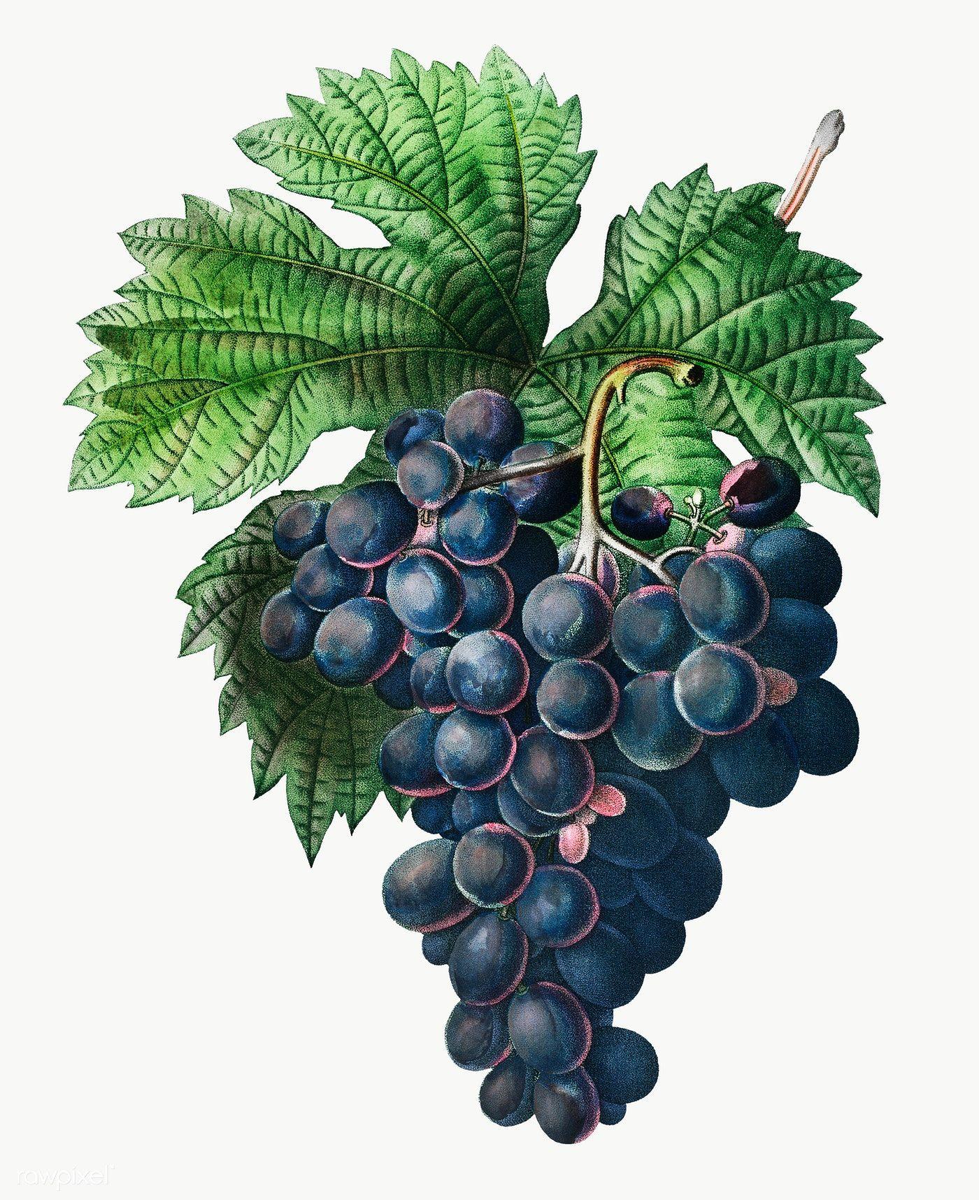Blue Grape Vine Transparent Png Free Image By Rawpixel Com Vine Drawing Grapes Grape Vines