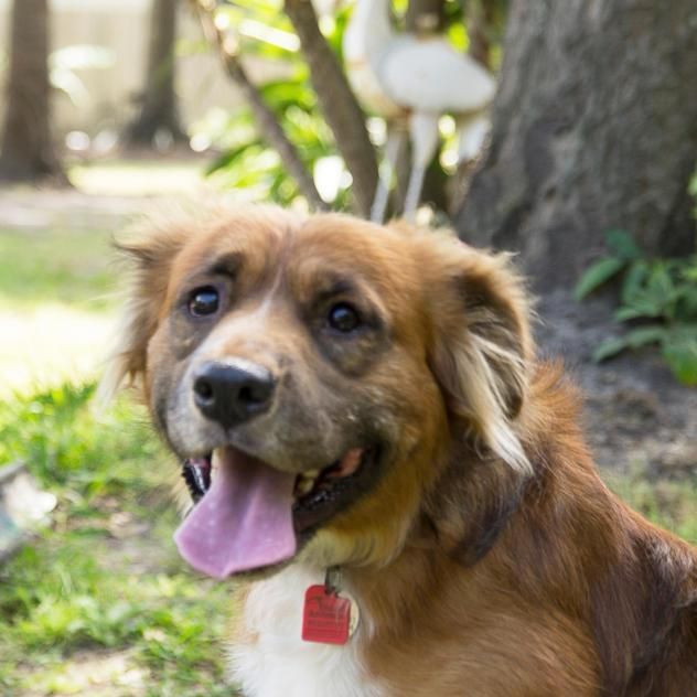 Gable Is A 4yr Old Male Golden Retriever Australian Shepherd Mix Available At Red Collar Rescue Houston Tx Australian Shepherd Golden Retriever Dogs