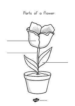 Parts of a Plant and Flower Labelling Worksheet by Twinkl