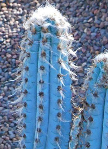 Cacto-Azul-Tudo-Sobre-o-Cultivo-3.jpg (349×480)