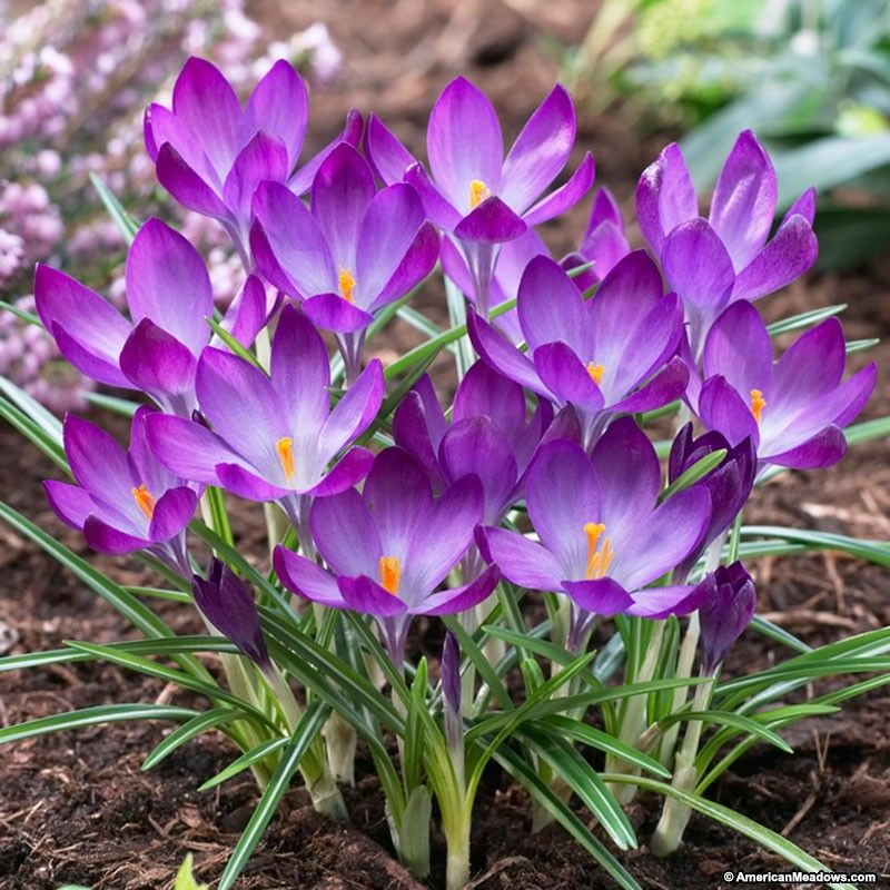 3 purple botanist grove pinterest flowers wild flower meadow in early spring showy velvety deep purple flowers with orange anthers add great color to the early spring garden mightylinksfo