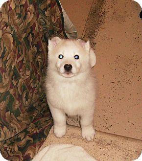 Richmond Mi American Eskimo Dog Siberian Husky Mix Meet Pluto