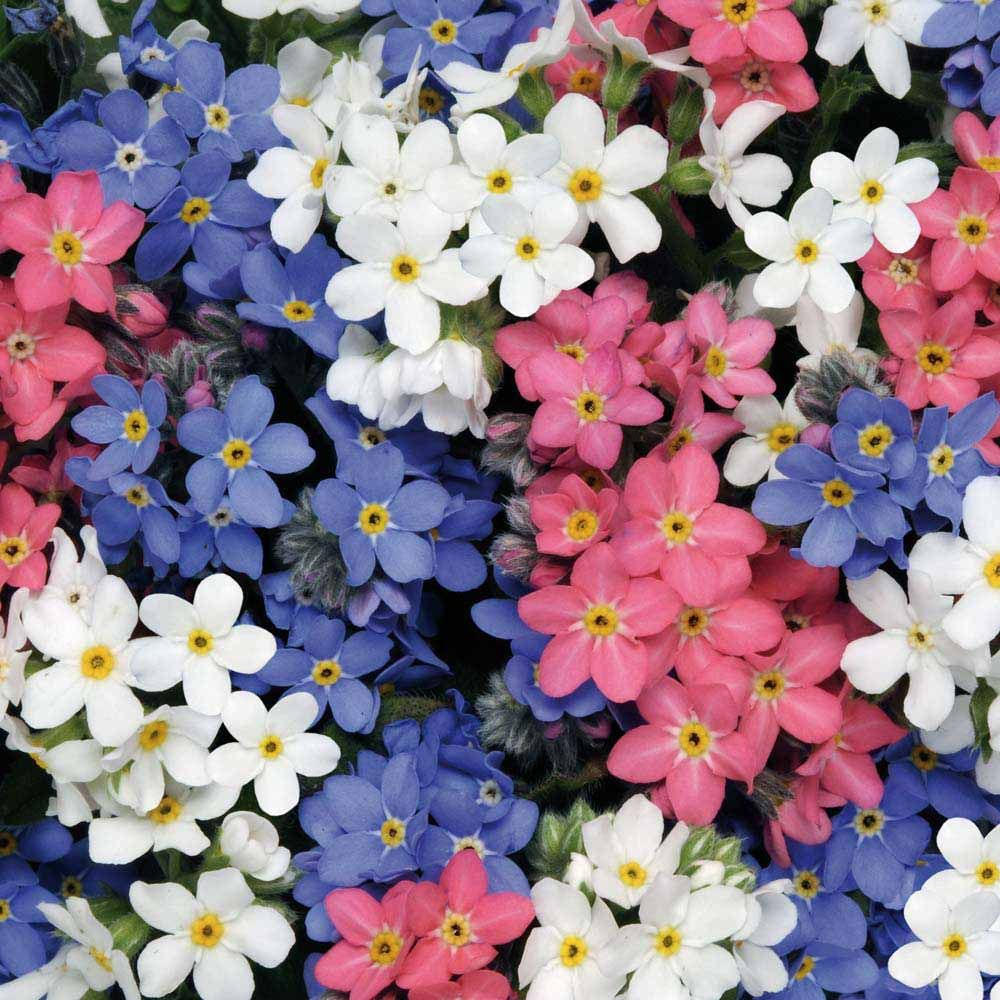 Forget Me Not Flowers Clustered Like This For Bristol But With