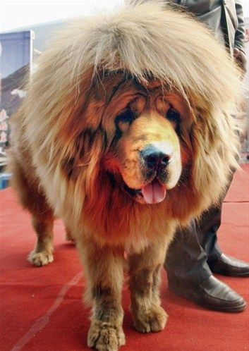 Tibetan Mastiff -Unbelievable!