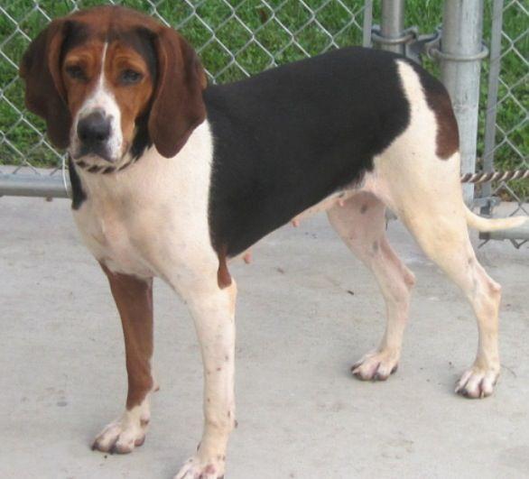 Adopt Kensie Rescued Mt P On Treeing Walker Coonhound Walker Coonhound Adoption Center