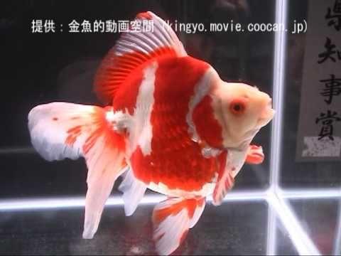 琉金]2008年度 第26回日本観賞魚フェア 奈良県知事賞:須原 一雄
