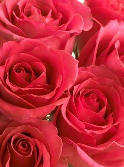 Pink Roses, Shocking Versilia Roses, EcoBlooms® Certified, Eco-Friendly, 1 Doz - OrganicBouquet.com