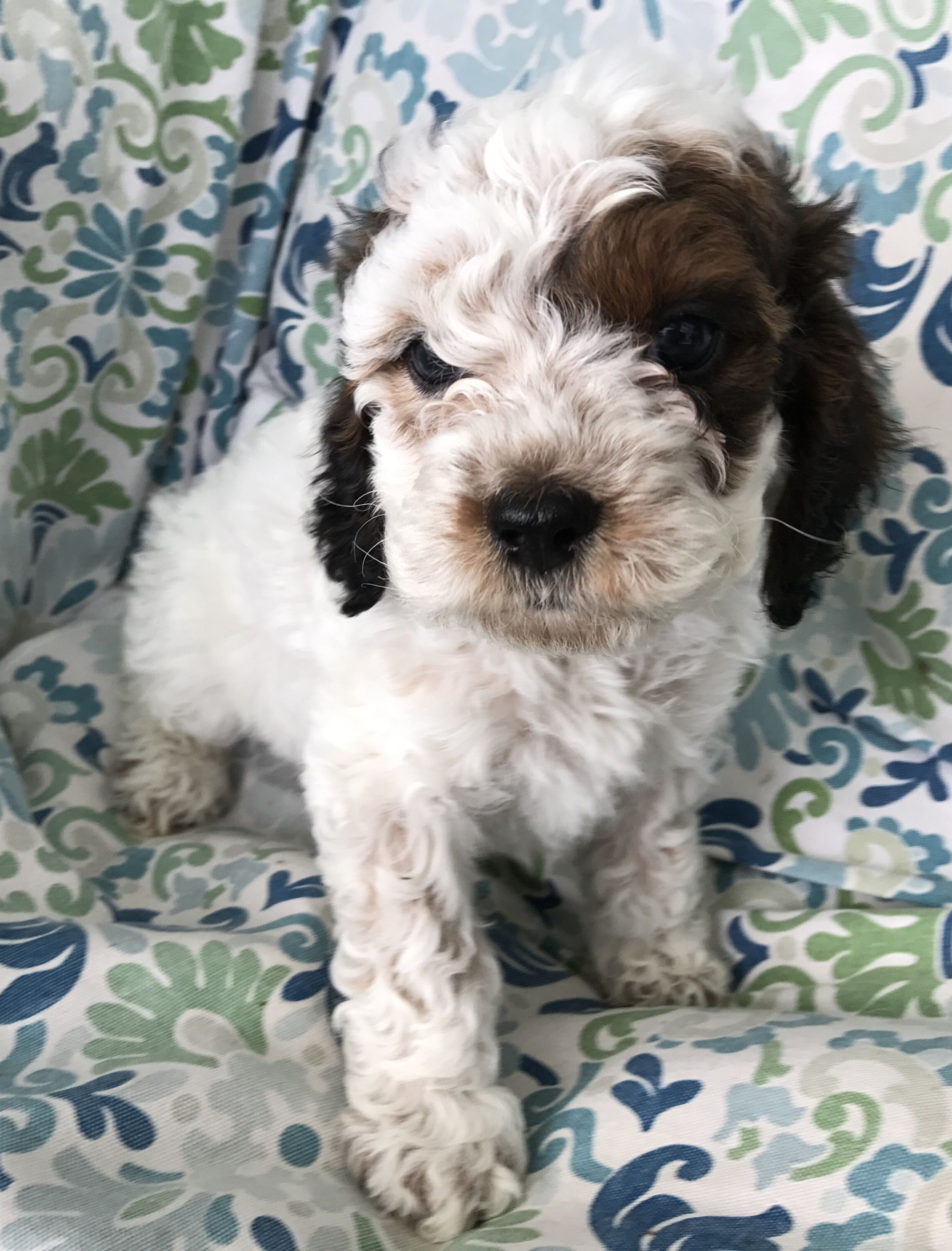Cockapoo for sale, male. Go to Florida