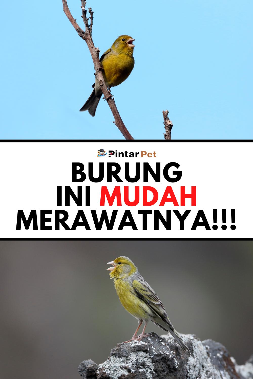 Cara Merawat Burung Kenari Yang Mudah Dilakukan Burung Kenari Burung Kecil