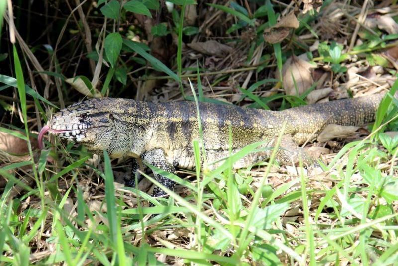 Florida Family Finds Large Tegu Lizard Lounging Next To Their Pool Lizard Tegu Lizard Florida Fish