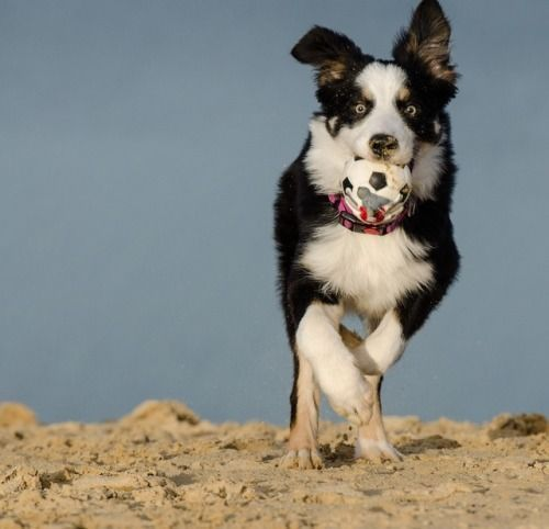 #bordercollie #colliepoint   Border collie, Dog ...