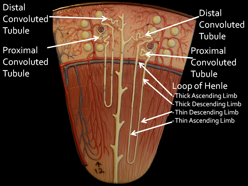 Nephron   A&P.5.Stomach & Kidneys   Pinterest   Anatomy ...