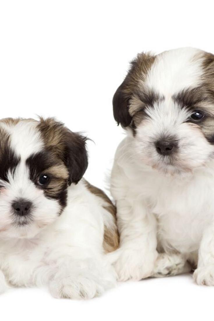 Puppy Mixed Breed Dog Between Shih Tzu And Maltese Dog 7 Weeks