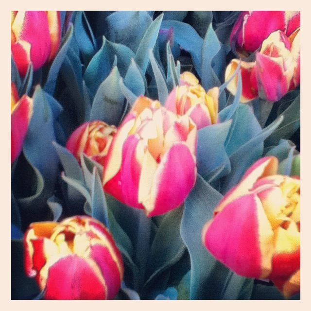#Red #yellow #tulips #Tulip #Flower #Flowers #Plant #Plants #Pretty #Beauty #Beautiful #Outside #Nature #MotherNature #Green