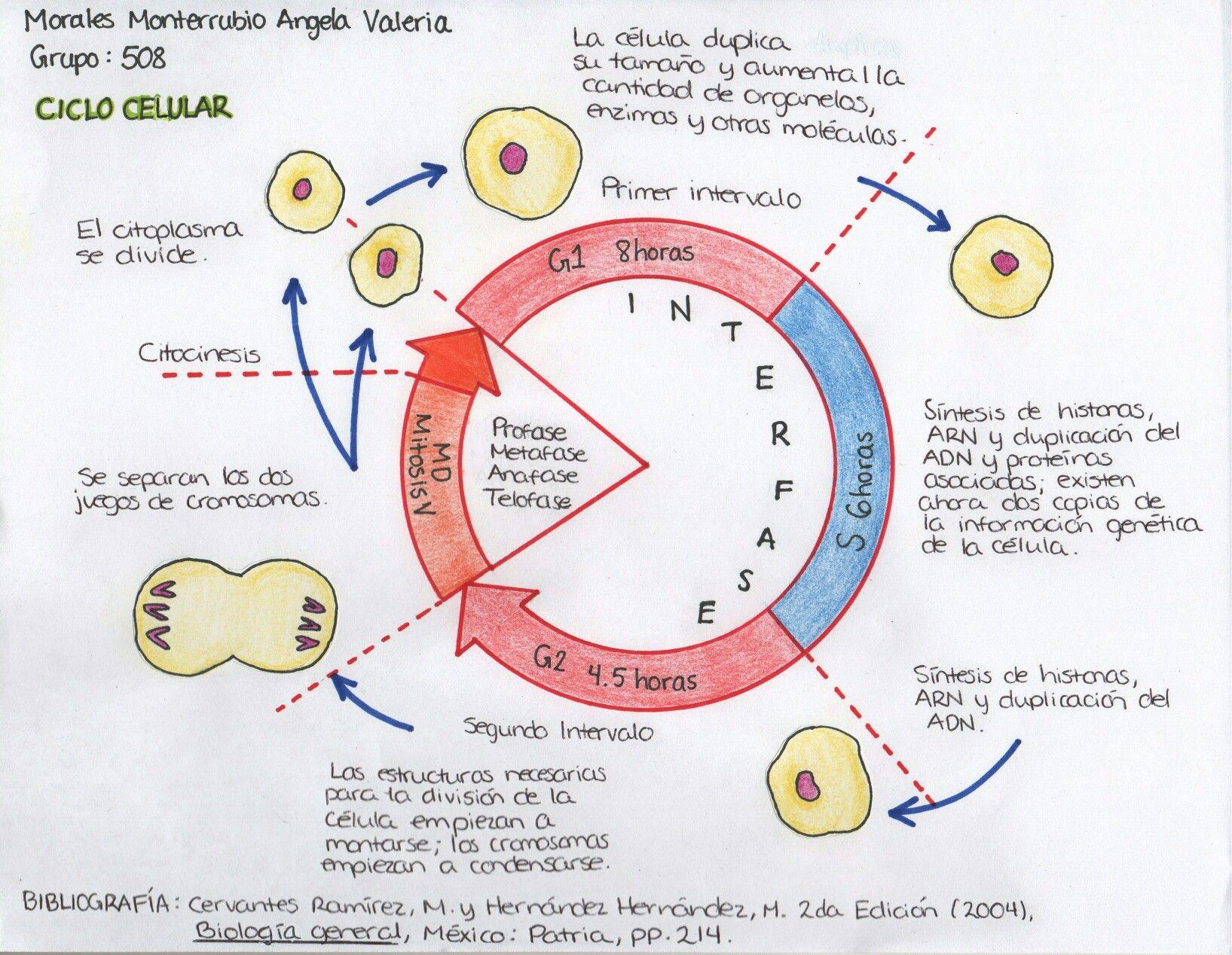 Esquema 1 del Ciclo Celular | Biología | Pinterest | Esquemas ...