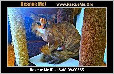 California Norwegian Forest Cat Rescue Adoptions Rescueme Org Forest Cat Norwegian Forest Cat Norwegian Forest