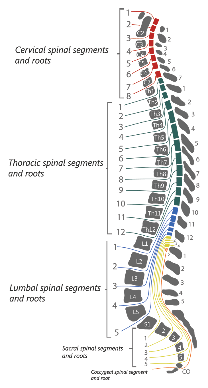 Exiting Nerve Roots Spinal Cord Injury Spinal Cord Injury Nursing Spinal