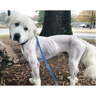 Pin by GreatPyrenees RescueOfAtlanta on Available Pyrs ...
