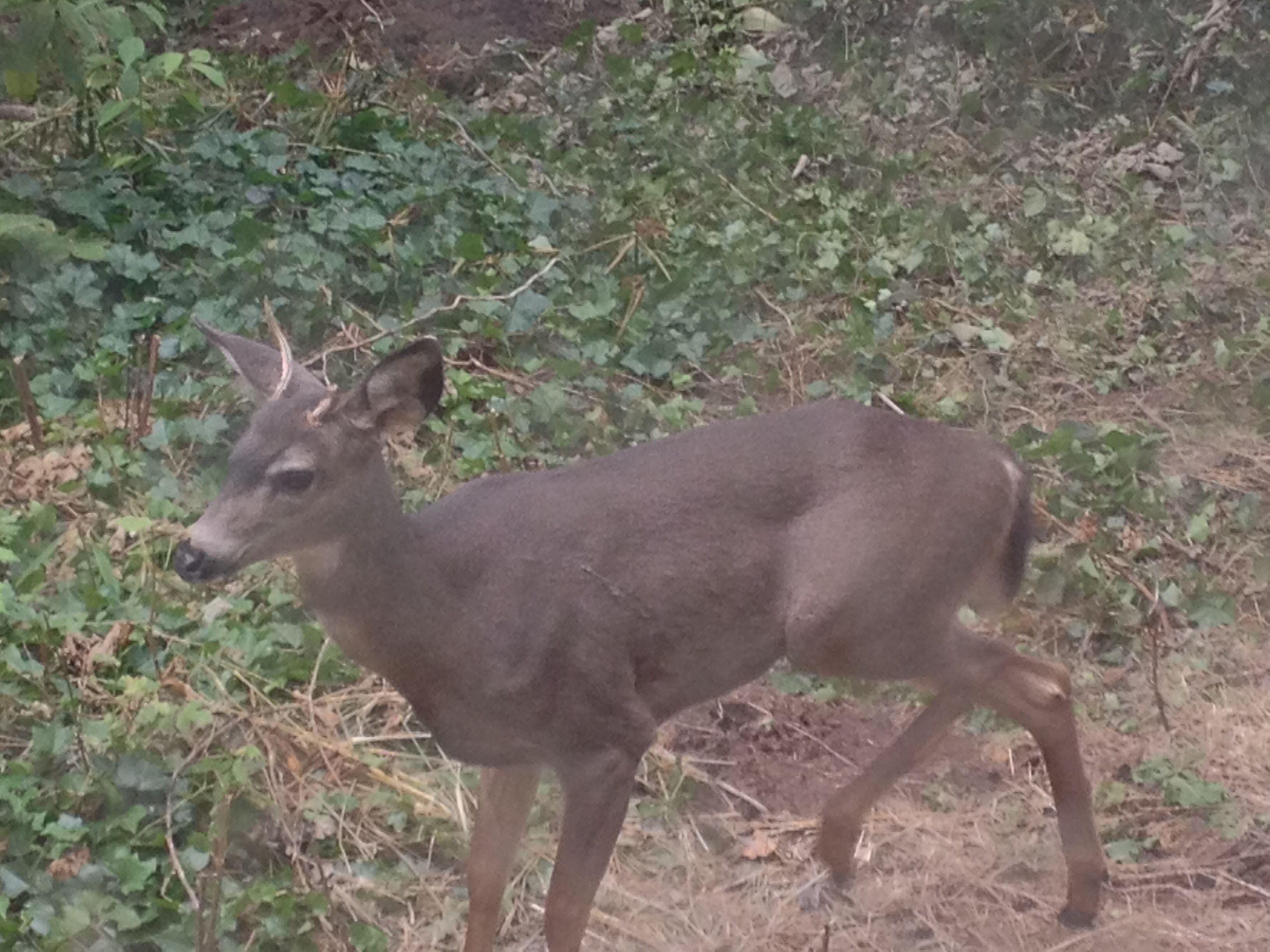 Baby Deer in our yard :)