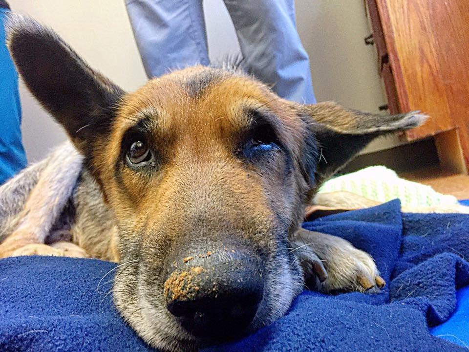 German Shepherd Dog dog for Adoption in Kansas City, MO
