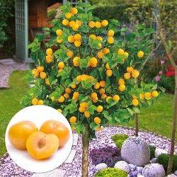 Cumpara Arbori Si Arbusti Fructiferi In Magazinul Online