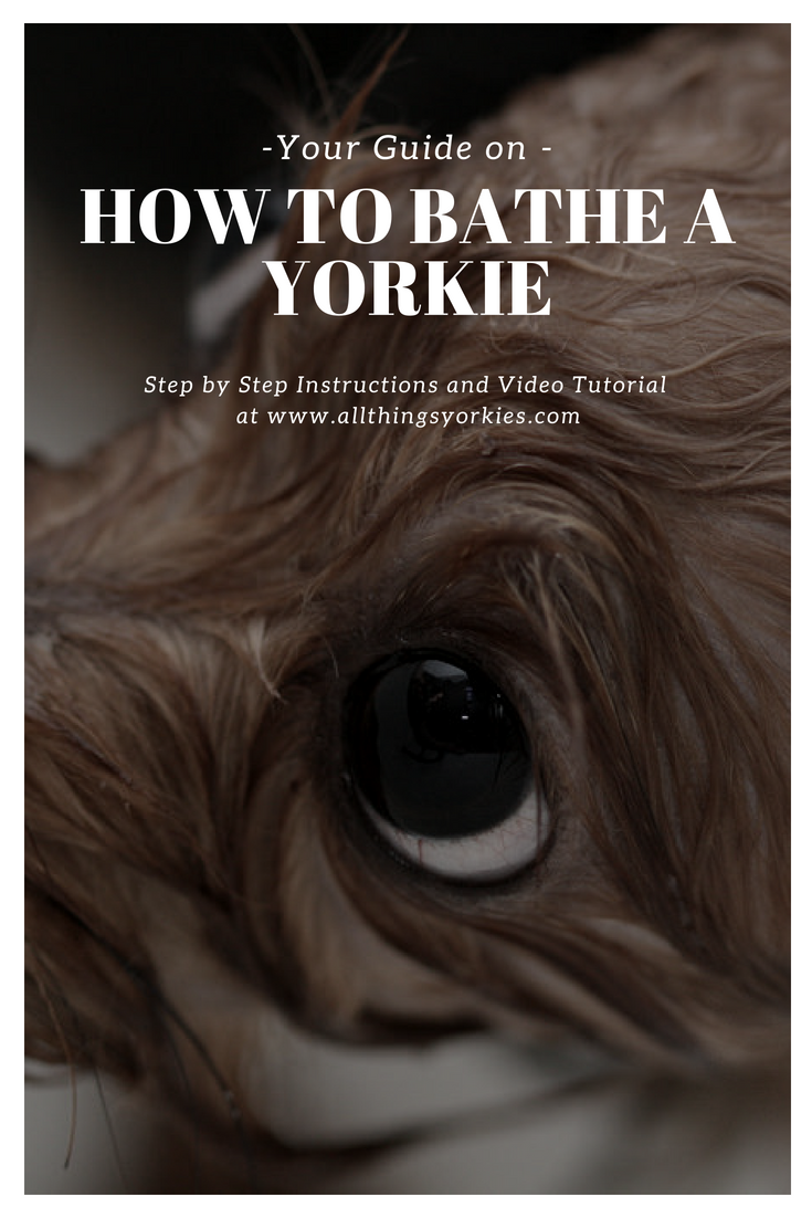 How to Bathe a Yorkie tips and tutorial for a squeaky